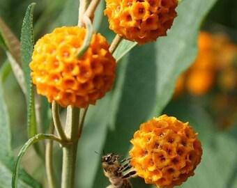 Buddleia-globosa-Golden-Ball-Butterfly-Bush-RARE 20-seeds