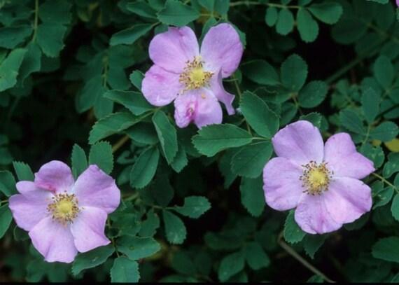 Rosa Woodsii Woods Rose 3 6 or 10 Native