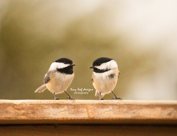 Pair of Chickadees New England Bird Original Photography