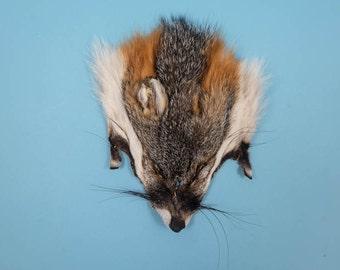 American Gray Fox Face