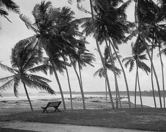 Palm trees on beach near Colombo in Sri Lanka, c 1910.