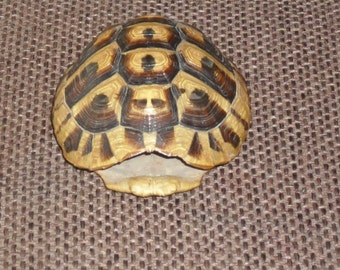 small turtle shell