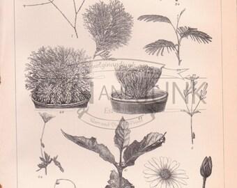 Antique Plant Lithograph - Antique Plant Print from 1890
