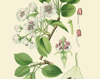 Pear (Pirus Communis L) -  reproduction of an old botanical illustration