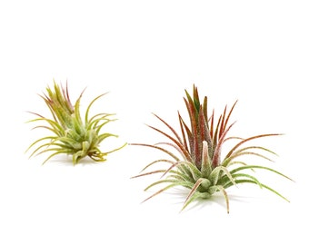 Tillandsia Ionantha Fuego Air Plant // Hello Tilly Airplant