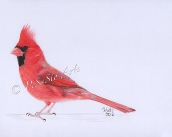 Cardinal bird drawing