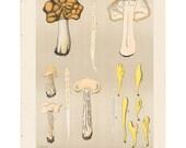 Antique 1895 mushroom print by CHARLES PECK, Plate 5, botanical, fungi, vintage chromolithograh print