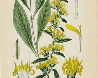 1896 Antique BOTANICAL print, lovely chromolithograph of a yellow goldenrod or woundwort, Vintage botanical