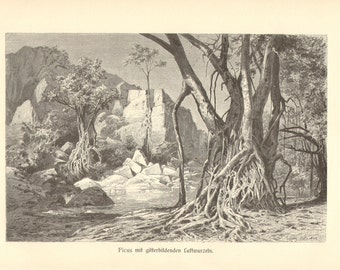 1913 Fig Trees with Aerial Roots Original Antique Engraving