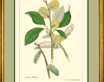 PUSSY WILLOW - Botanical print reproduction 377