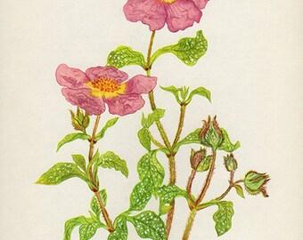 Vintage Botanical Prints 1960s - CISTUS VILLOSUS flower wall art decor -  lithograph bookplate illustration
