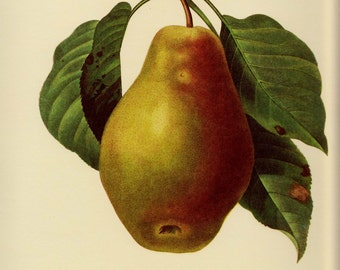 French Country Kitchen Print Pear Fruit Print Botanical Print Cottage Decor Fruit Gallery Wall Art pjr 2394