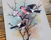 Vintage Bird Book Plate Page of Bullfinch printed 1965 Illustration