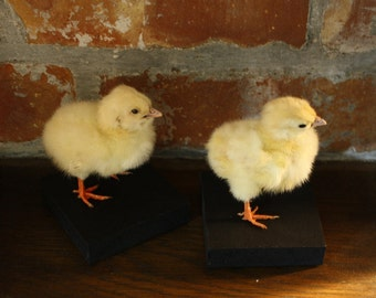 Taxidermy Chick. Easter Gift. Chicken. Bird Taxidermy. Professional Taxidermy. Museum Quality. Ethical