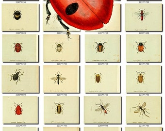 INSECTS-63 Collection of 311 vintage illustration Ladybird Ladybug Clytra animals picture image High resolution digital download printable