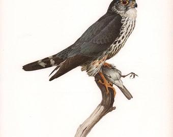 JF Lansdowne Print Book Plate Art, Pigeon Hawk