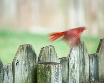 Cardinal in Flight Photo