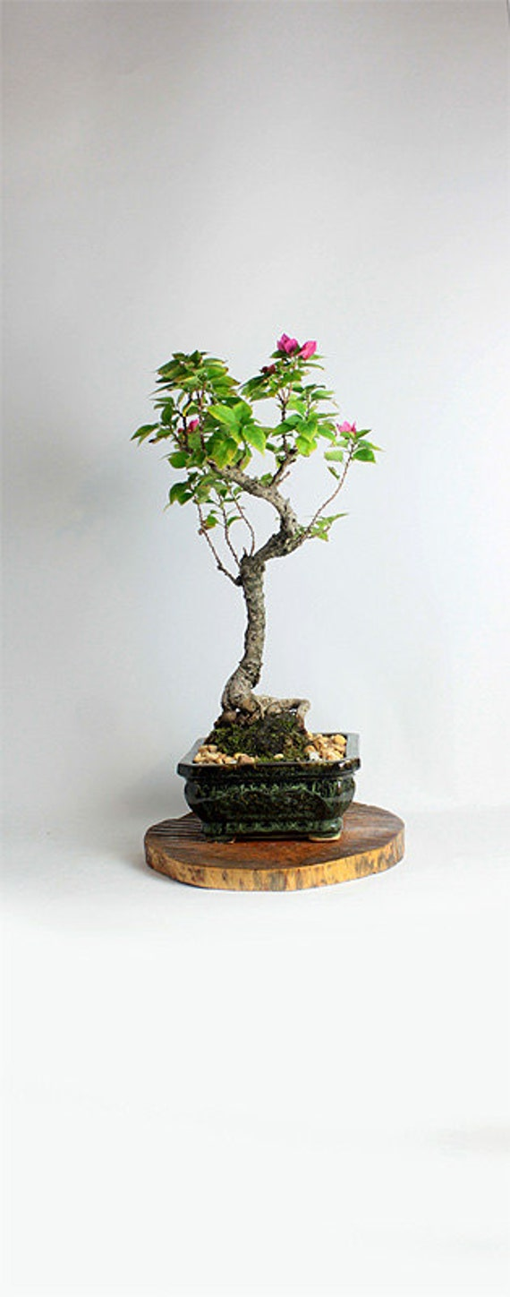 Bougainvillea Winter Care What To Do With A Bougainvillea: Pixie Bougainvillea Bonsai Tree Winter Tropicals
