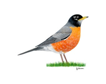 American Robin watercolor bird print, robin bird art, bird painting, bird illustration, wildlife art, state bird artwork, red breasted robin