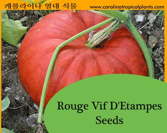 Rouge Vif D'Etampes Pumpkin Seeds - 10