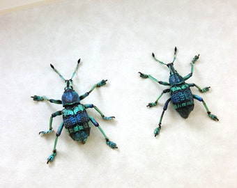 FREE SHIPPING Real Framed Eupholus Schoenherri Teal Aqua Blue Green Weevil Taxidermy Mounted Spread A1
