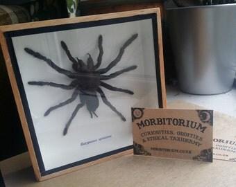 Framed tarantula spider