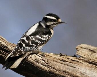 Downy, woodpecker, bird, photo, glossy, print, signed, US, wildlife, home decor, wall art, nature photography, free shipping