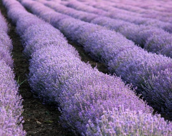 Kitchen decor Beauty Gift botanical photography  Wall flowers  Art photo lavender Picture lavender field  foodie gift Purple colors art wall