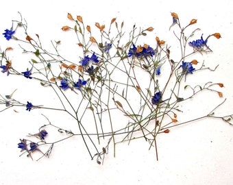 Pressed Flowers. Dried Flowers. Consolida regalis. Purple. Decor. Cards. Scrapbooking