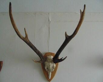 mounted chital aka axis deer antlers