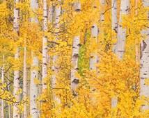 One Yard of Golden Aspen Birch Tree Landscape 100% Cotton Quilt Fabric