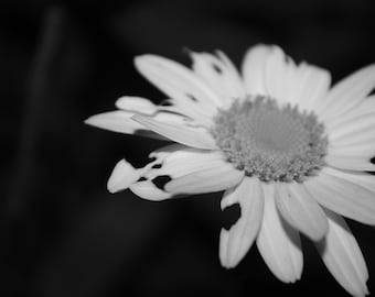 Flower Black & White, Diseased, Decaying Photography