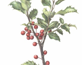 Ilex ~ Holly branch with berries, 11 x 14, botanical art print, colored pencil