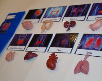 Human Organs 3-part cards with optional matching miniatures--Montessori early learning material--Human Body, Anatomy