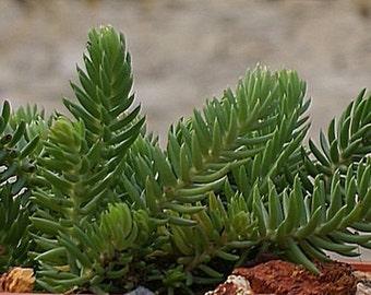 "10 x Plug Plants Sedum Reflexum ""Blue Spruce"".Fairy gardens,wedding favor,succulents,Terrarium."