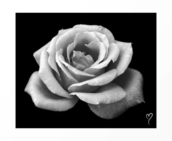 "Black and White Wall Art of a Relaxing Rose, BLACK WHITE PHOTOGRAPHY, Flower Art, Rose, Black and White Photograph ""Timeless Beauty"""