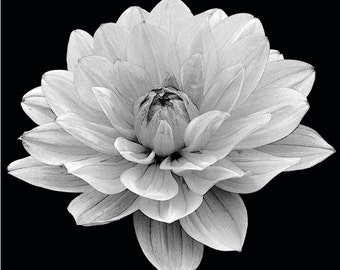 Black and White Dahlia Wall Art