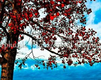 Fine Art Print Red Fall Tree Photo