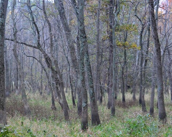 woods print, PHOTOGRAPHY, LANDSCAPE, WALL art, trees, nature, wood, picture, art