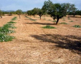 5 capparis spinosa plants / caper plants / piante di cappero / κάππαρη  -  plants
