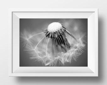 Dandelion, Dandelion photo, dandelion seeds, black and white, nature photograph, macro photography, dandelion photos, digital photo print