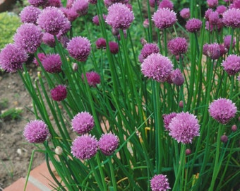 Chive Seeds 300
