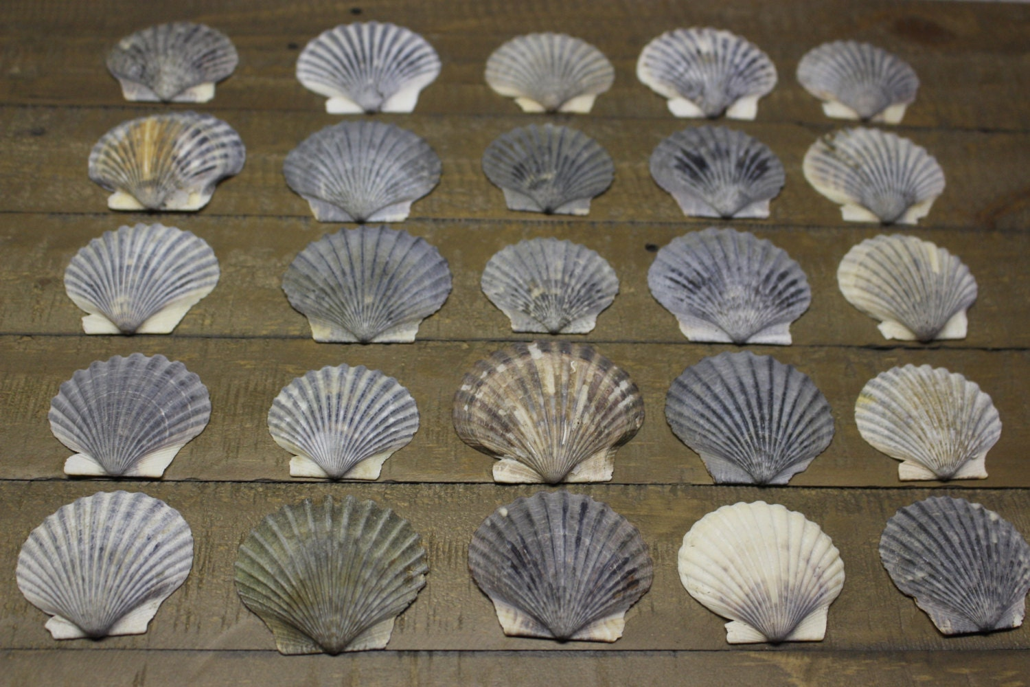Scallop shells scallop shells for crafts or jewelry bulk - Scallop shells for crafts ...