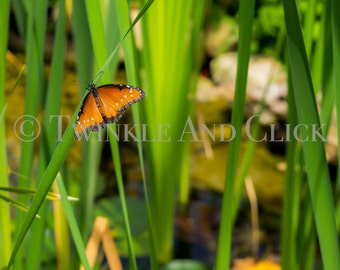 INSTANT DOWNLOAD Photography Art Queen Butterfly on Cattails