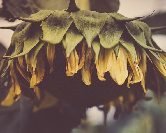 Droopy Sunflower Photograph - Fine Art Print - Flower Pictures - Home Wall Decor - Sunflowers - Country Rustic Decor - House Warming Gifts