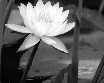 Black&White Pond Lily