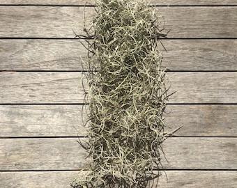 Spanish Moss - Live Plant