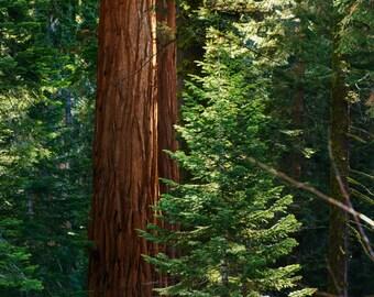 Sequoia National Park, BIG TREES, Soft morning light