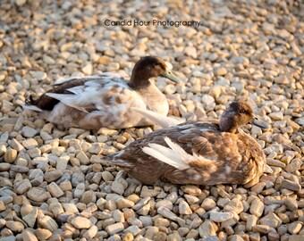 Camo Ducks