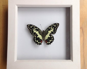 Citrus Swallowtail butterfly(in white frame)